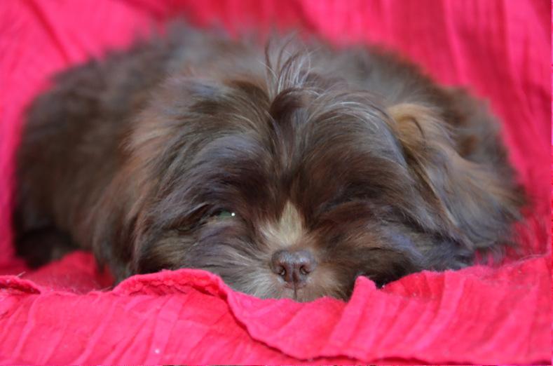 Canadian Kennel Club Registered Shih Tzus Shih Tzu Puppies Shih