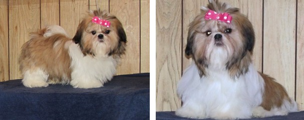 Canadian Kennel Club Registered Shih Tzus Shih Tzu Puppies Ckc